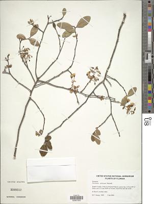 Vaccinium arboreum Marshall