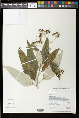 Remya kauaiensis Hillebr.