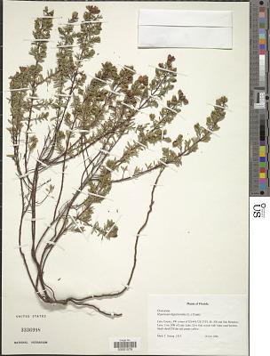 Hypericum hypericoides (L.) Crantz