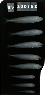 Coryphaena equiselis