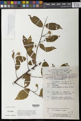 Grewia rhamnifolia Heyne ex Roth