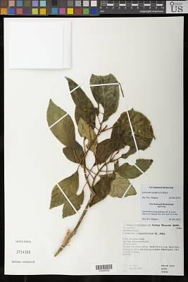 Cyrtandra campaniformis H. St. John