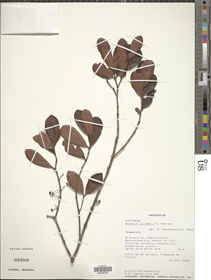 Eugenia cloiselii H. Perrier