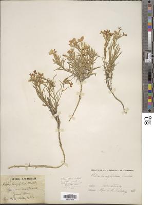 Phlox longifolia subsp. cortezana (A. Nelson) Wherry