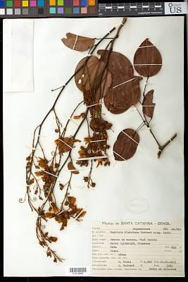 Bauhinia kleiniana Burkart