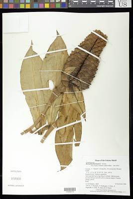 Renealmia floribunda K. Schum.