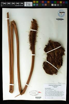 Sadleria cyatheoides Kaulf.
