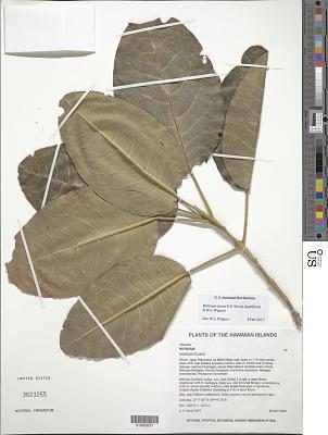 Melicope stonei K.R. Wood et al.