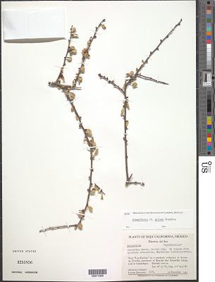 Schaefferia pilosa Standl.