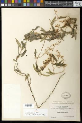 Ditassa racemosa Britton