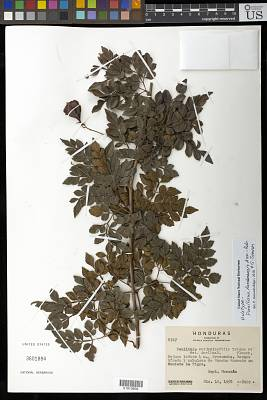 Paullinia hondurensis Acev.-Rodr. & Somner