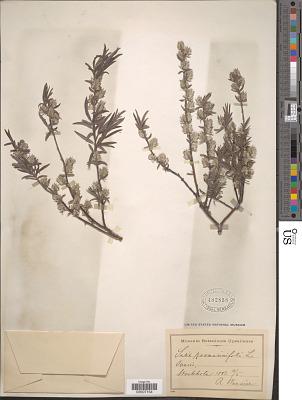 Salix rosmarinifolia L.