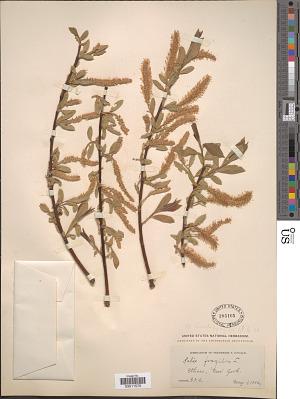Salix lucida x S. fragilis L.