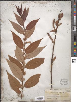 Salix rigida