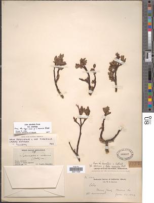 Salix lemmonii Bebb