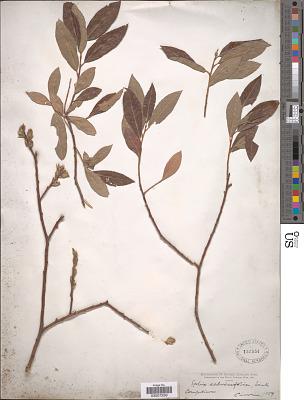 Salix salviaefolia Brot.