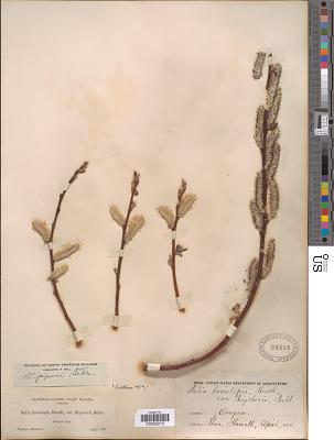 Salix piperi