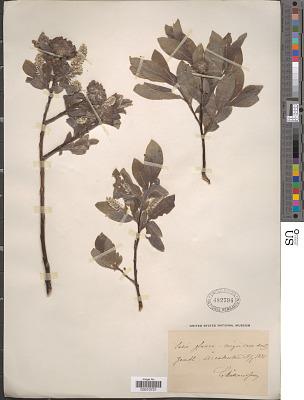 Salix glauca L.