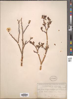 Salix lutea Nutt.