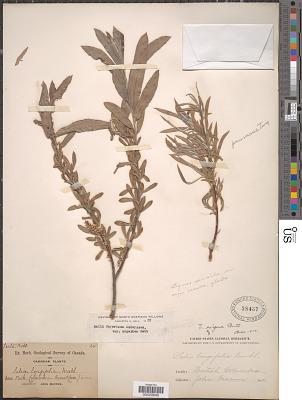 Salix geyeriana Andersson