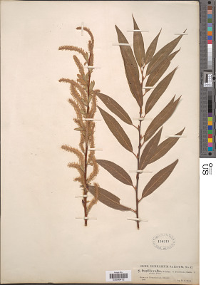 Salix fragilis L. x S. alba L.