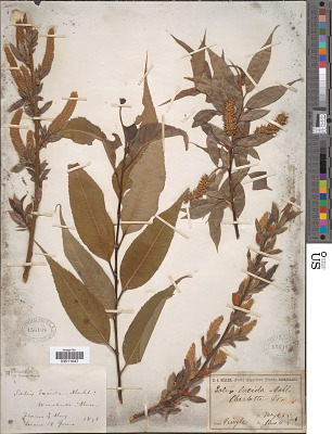 Salix lucida