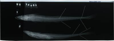 Echeneis neucratoides