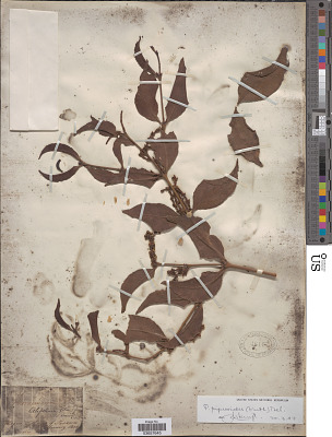 Phoradendron piperoides (Kunth) Trel.