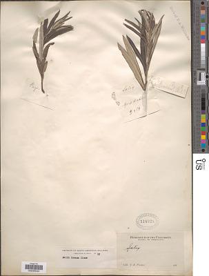 Salix incana