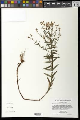 Hypericum radfordiorum Weakley ex J.R. Allison