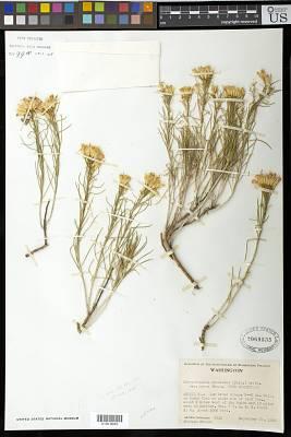 Chrysothamnus nauseosus var. nanus Cronq.