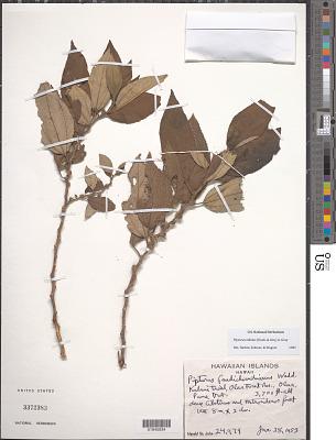 Pipturus albidus (Hook. & Arn.) A. Gray