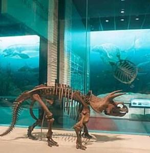 images for Triceratops horridus Marsh, 1889-thumbnail 2