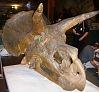 images for Triceratops horridus Marsh, 1889-thumbnail 13