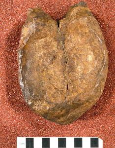 images for Creosaurus potens Lull, 1911-thumbnail 2