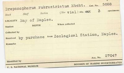 Drepanophorus rubrostriatus Hubrecht, 1874