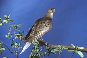 images for Ectopistes migratorius-thumbnail 3