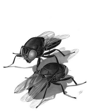 True Flies (Diptera) | Smithsonian Institution