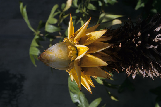 image for Musa sp.