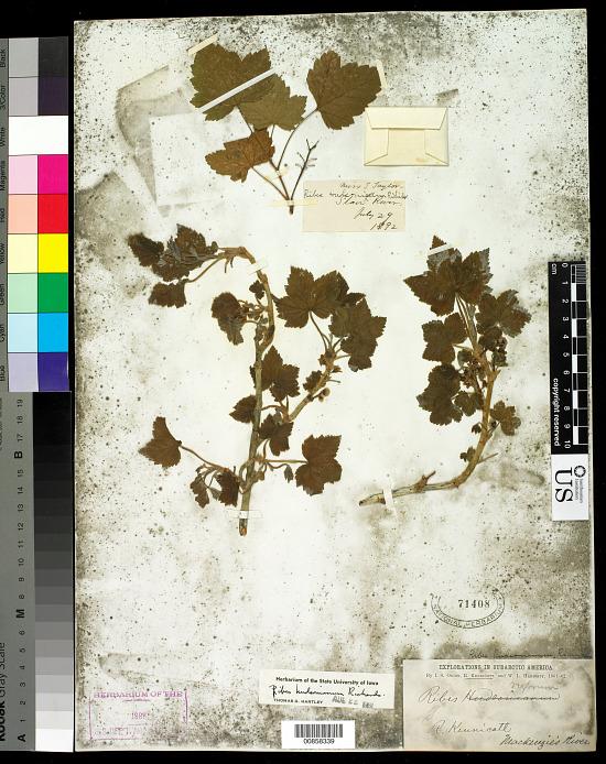image for Ribes hudsonianum Richardson