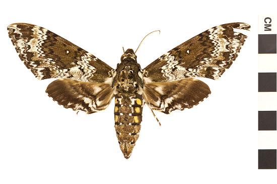 image for Hawk Moths