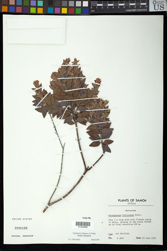 image for Decaspermum fruticosum J.R. Forst. & G. Forst.