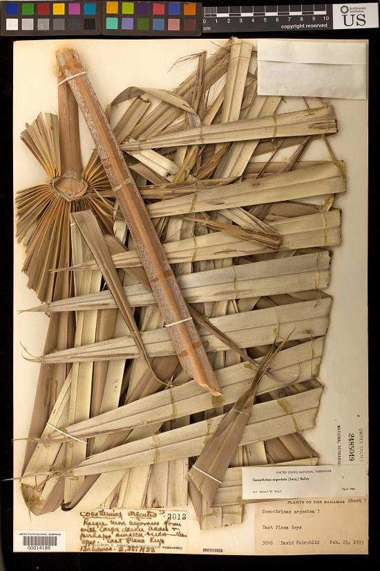 image for Coccothrinax readii H.J. Quero
