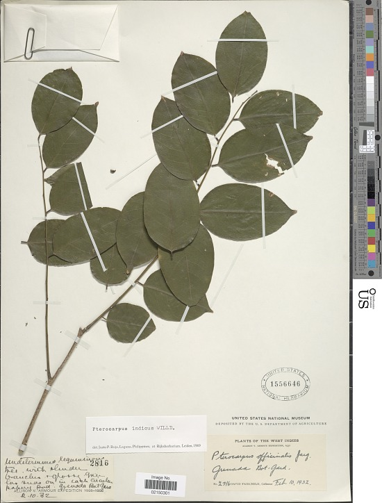 image for Pterocarpus indicus Willd.