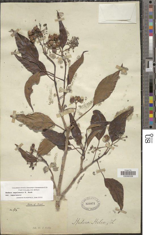 image for Hedera nepalensis K. Koch