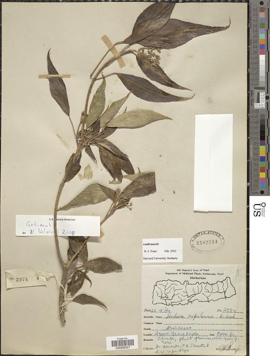image for Hedera nepalensis K. Koch