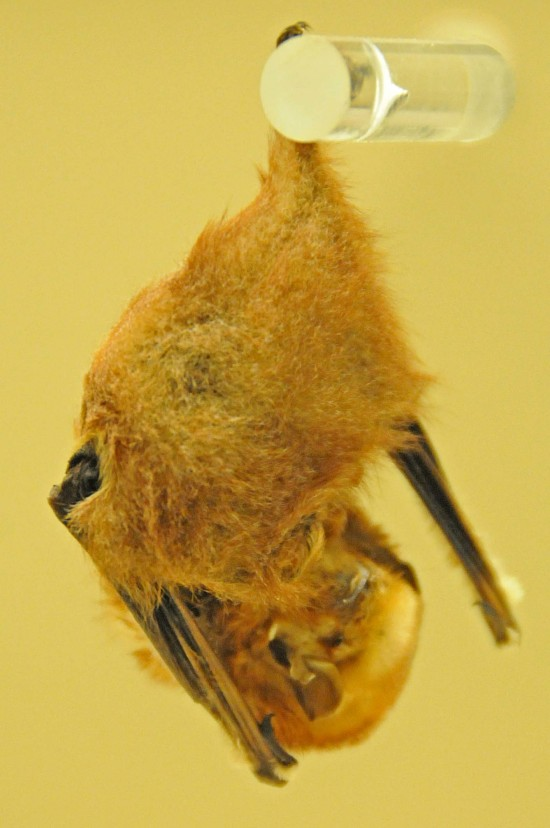 image for Lasiurus borealis