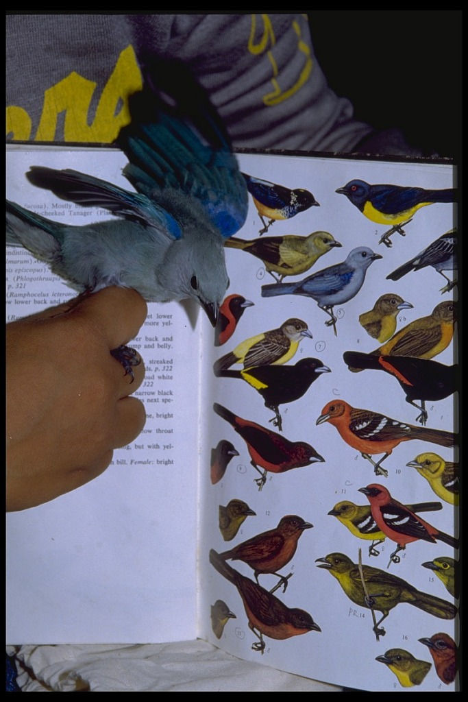 image for Mist Netting of Tropical Birds, Panama, STRI