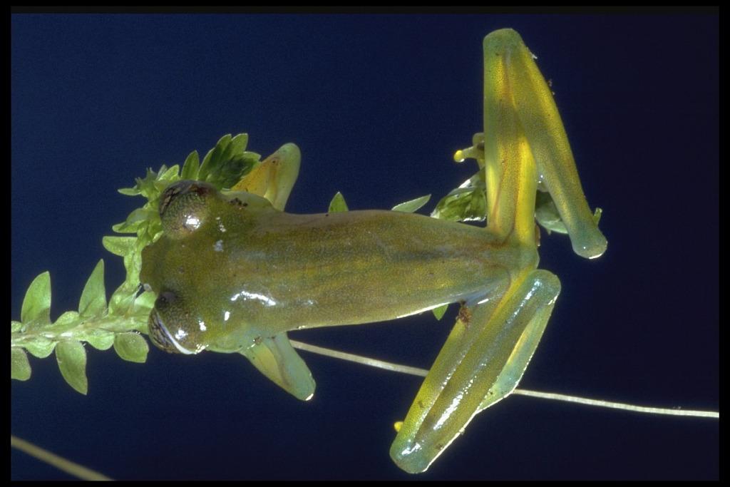 image for Frog, Panama, STRI