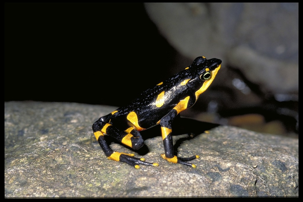 image for Frog, Panama, STRI